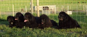 Photo Gallery - FIVE Generations - Prentiss (9wks), Maizy (2.5yrs), Oscar (6yrs), Willie (shy 14yrs) & Loretta (shy 11yrs)