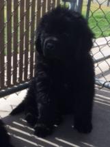 Puppy Antics - Coal
